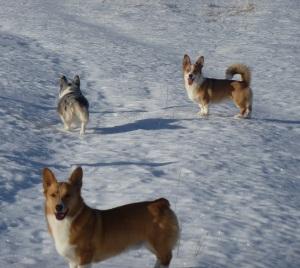 Corgis on the snow