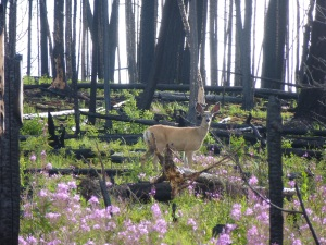 Deer in burned forest