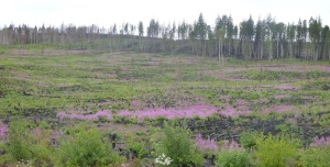 Field of Fireweed