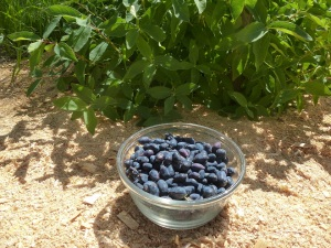 Haskap Berries - Yum!